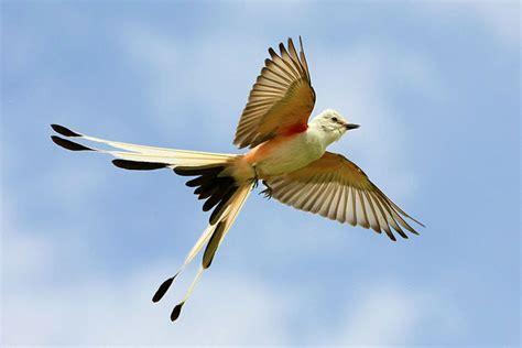 oklahoma state bird scissor tailed flycatcher