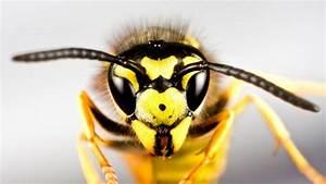 Was Essen Wespen : so sch tzen sie sich vor wespen ratgeber srf ~ Frokenaadalensverden.com Haus und Dekorationen