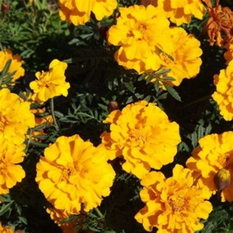do marigolds keep bugs away 17 best images about gardening on pinterest gardens window boxes and container gardening