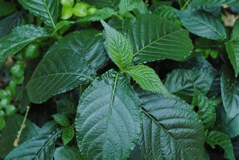 jenis obat herbal manfaatnya ali mustika sari