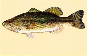 Free Picture  Largemouth  Bass  Fish  Art  Work