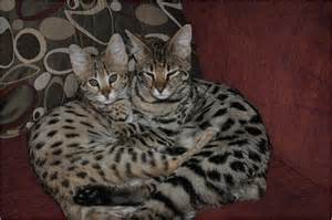 cat f1 price the shaghera bengal and