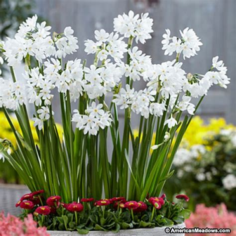 paperwhite bulbs inbal narcissus american