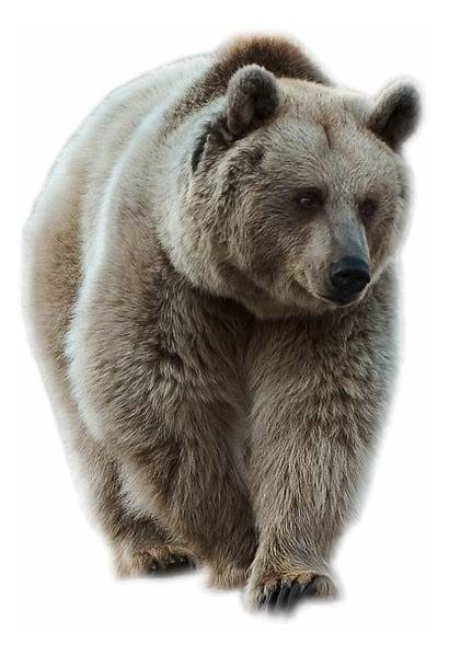Bear Transparent Brown Animal Tubes Clipart Ours