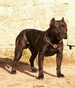 How To Read A Control Chart Growth Dogo Canario Puppy Weight Chart Dogo Canario