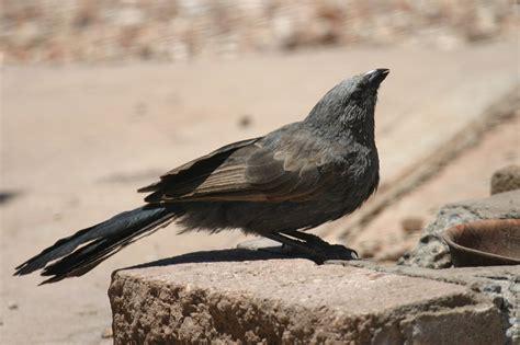 birds in backyards bird finder apostlebird birds in backyards