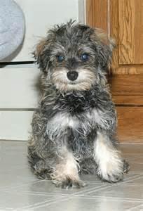 Puppy Schnauzer Poodle Schnoodle