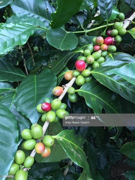 We inspire people to plant, nurture, and celebrate trees. Closeup Of Coffee Bean Growing On Tree Stock Photo   Getty Images