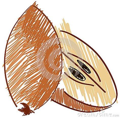 Sketch of a sapodilla isolated illustration