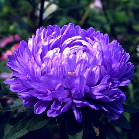 King Size Blue Organic China Aster Seeds Shipping Is