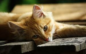 Lazy cat - HD wallpaper download. Wallpapers, pictures ...