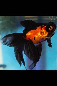 Fancy Goldfish Black and Orange | For Kendall | Pinterest
