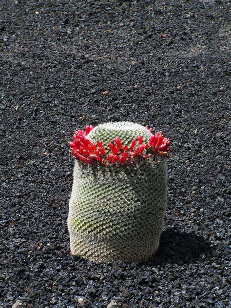 kaktus mit blüten exotischer kaktus mit den girlanden der roten blumen stockbild bild auge exotisch 8686791