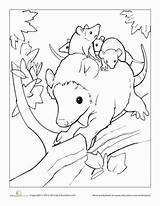 Opossum Coloring Pages Animals Baby Education Babies Mother Colors Worksheet Together Nature American Animal Opossums Wildlife Drawing Through Cute Adults sketch template