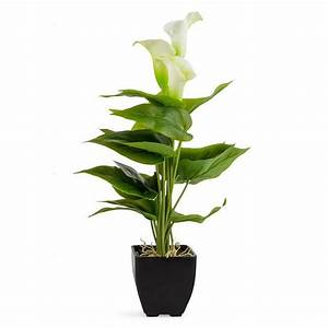 Potted Calla Lily 10x40cm (4/40) - Potted Plants - Plants