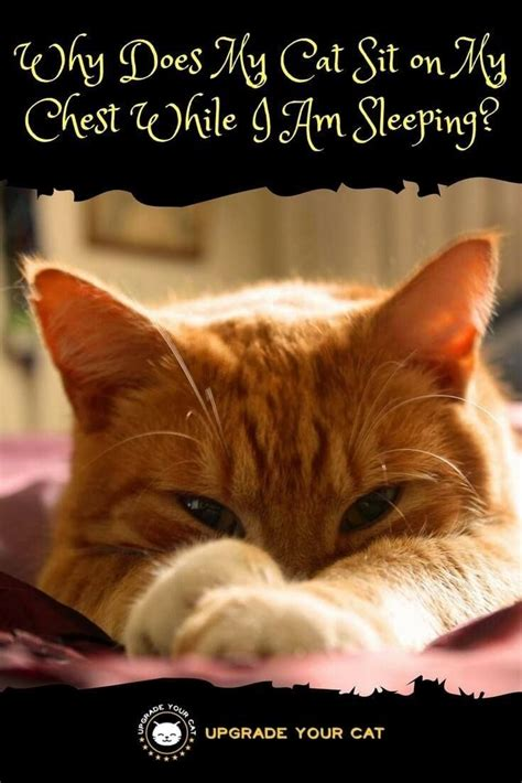 cat why sleeping chest cats upgradeyourcat sit while does behavior sitting eyes