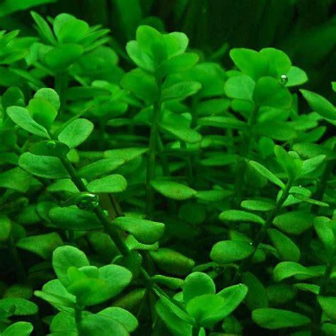 siege en oeuf bacopa monnieri aquarium plant 28 images bacopa