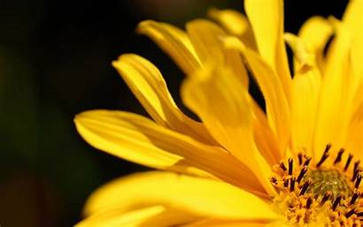 Flower Yellow Petal Petals Romantic Mate Manjaro
