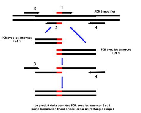 bureau de la pcr mutagenèse dirigée