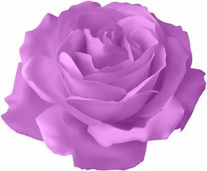 Rose Purple Transparent Clip Clipart Roses Previous