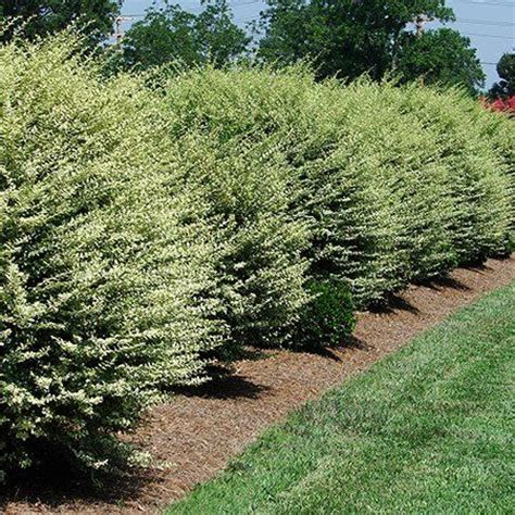 fast growing trees for privacy variegated privet traditional hedges and trees