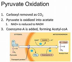 Cellular Respiration In Plants  U0026 Animals  Process
