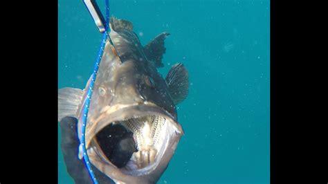 spanish grouper mackerel