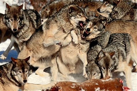 gray wolves quebec canada art wolfe