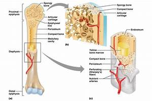 Cartilage   Inside Of Bones
