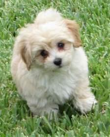 maltipoo designer dog breed maltese poodle hybrid