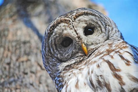 No, Barred Owls Are Not Trying To Kill You