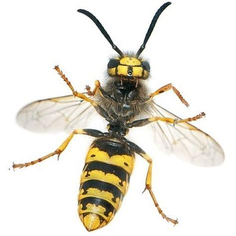 verbotene mittel gegen maulwurf steckbrief der gemeinen wespe wespenarten in deutschland