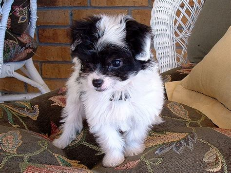 chihuahua poodle mix chi poo doggonedoodles cute dog