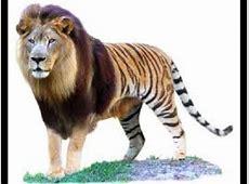 Tion Tiger + Lion Info Photo 2
