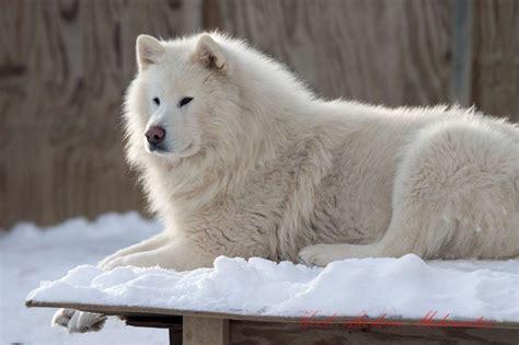 All White Alaskan Malamute   ... all-white Very Large ...
