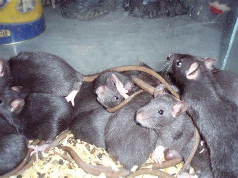 tieranzeigen rattenjunge kleinanzeigen