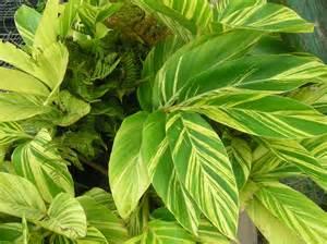 Variegated Ginger Plant Flower