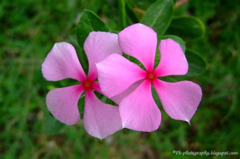 periwinkle flowers catharanthus roseus madagascar periwinkle nature cultural and travel photography blog
