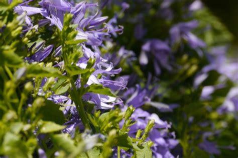 Gambar : ungu menanam tanaman berbunga warna lembayung