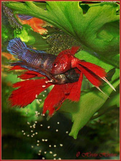 breeding betta fish tropical fish success