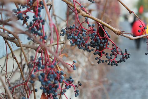 Free Images : tree branch blossom winter plant fruit