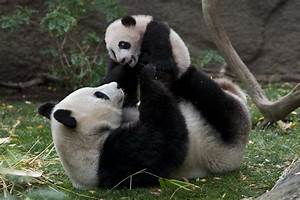 San Diego Zoo's Bai Yun is a giant gift to science - The