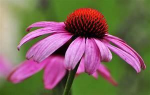 Sonnenhut Pflanze Kaufen : roter sonnenhut foto bild pflanzen pilze flechten bl ten kleinpflanzen ~ Buech-reservation.com Haus und Dekorationen