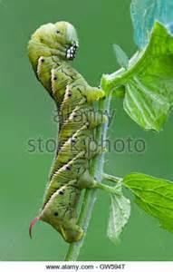Tomato Hornworm Caterpillar Moth