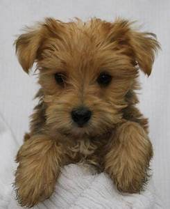#morkie #dogs #cute So cute! I want one! | Cute animals ...