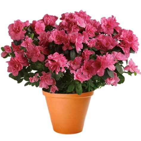 azaleas in pots care 10th of january is houseplant appreciation day clare florist