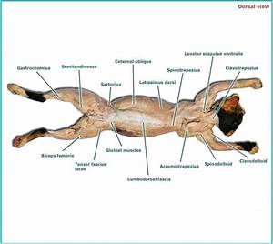 Cat muscles - Human Anatomy And Physiology with Alvarez at ...