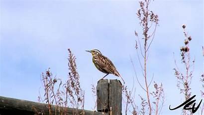 Singing Meadowlark Western Virily