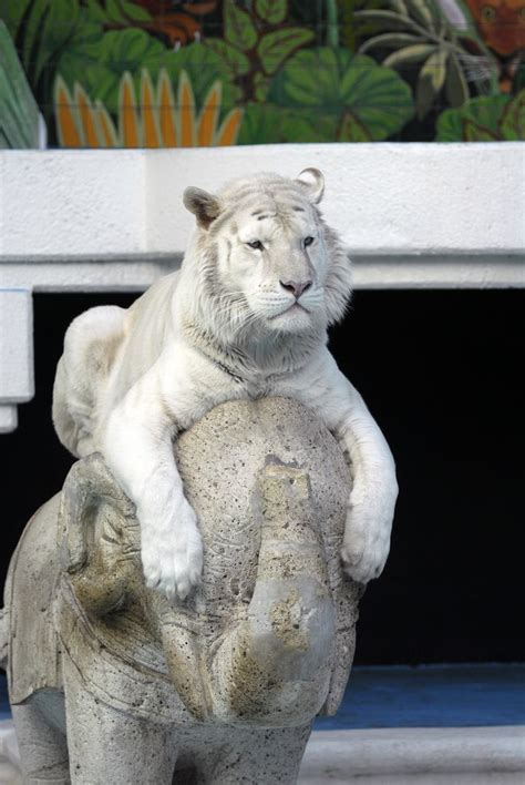Best Images About White Tigers Lions Pinterest