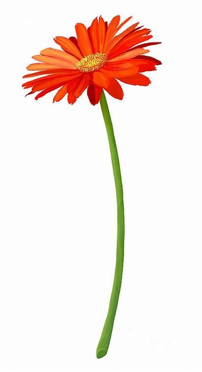 Gerbera Orange Flower Drawing Blossom Fresh Iam